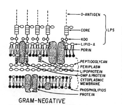 Gram-negative bacteria structure