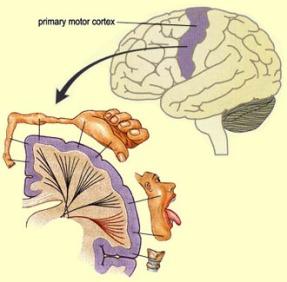 primary_motor_cortex